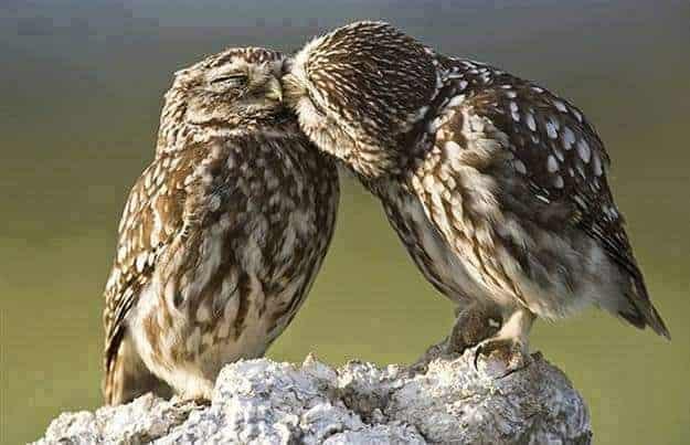 Owl Love Peace